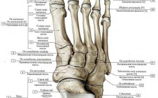 Скелет пятки