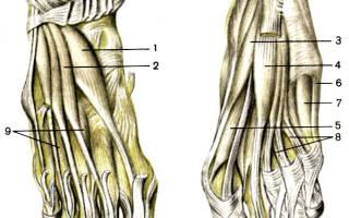 Червеобразные мышцы стопы